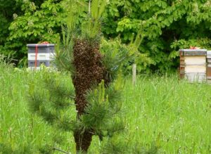 Bees on conifer tree