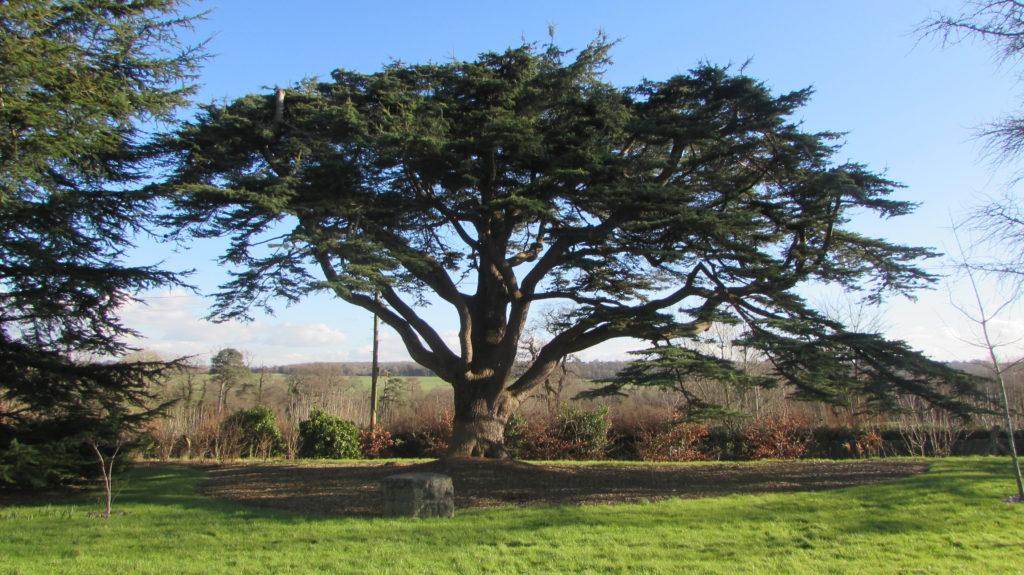 Cedar Tree to be taken down