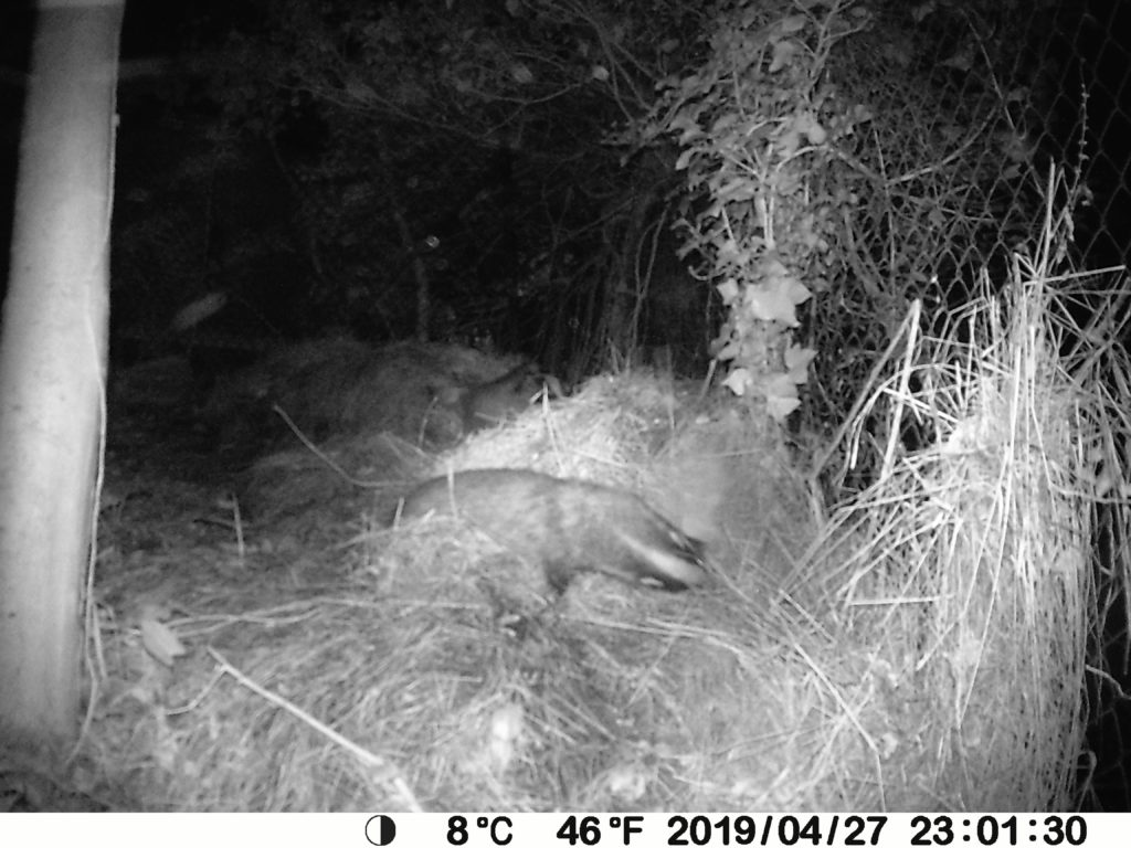 Badgers and beauty in the garden